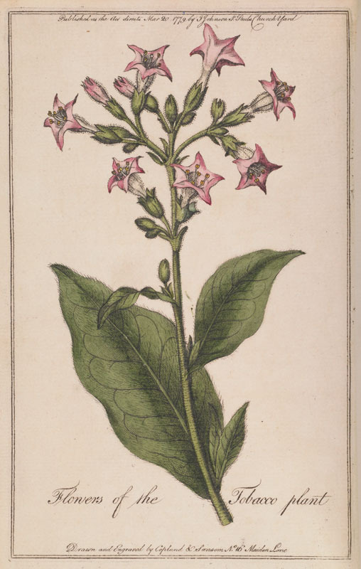 Tobacco flower from Jonathan Carver, A Treatise on the Culture of the Tobacco Plant, 1779.