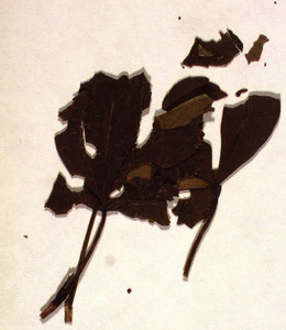Pressed leaves from the grave of Percy Bysshe Shelley